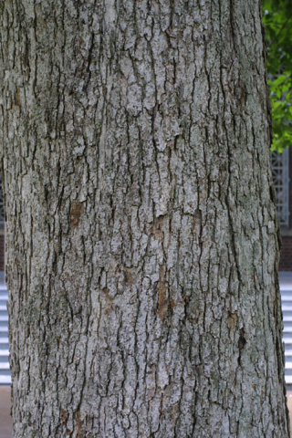 Image http://bioimages.vanderbilt.edu/lq/baskauf/wqumu--brlarge-tree12319.jpg