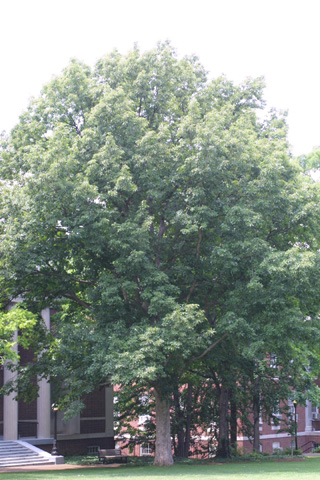 Image http://bioimages.vanderbilt.edu/lq/baskauf/wqumu--wplarge12318.jpg