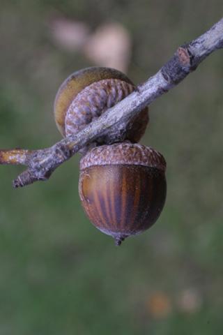 Image http://bioimages.vanderbilt.edu/lq/baskauf/wquni--fr16704.jpg