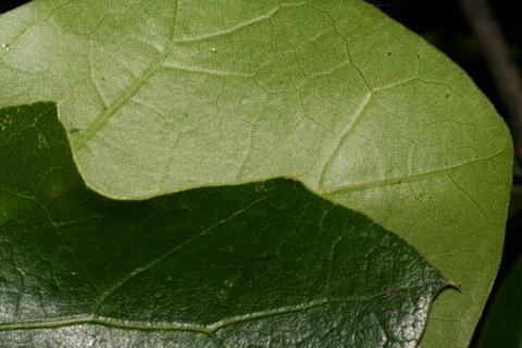 Image http://bioimages.vanderbilt.edu/lq/baskauf/wquni--lfmargin-uplow52424.jpg
