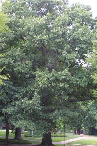 Image http://bioimages.vanderbilt.edu/lq/baskauf/wquni--wplarge12675.jpg