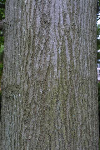 Image http://bioimages.vanderbilt.edu/lq/baskauf/wqupa2-brlarge12438.jpg