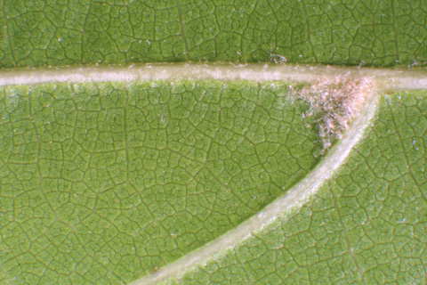 Image http://bioimages.vanderbilt.edu/lq/baskauf/wqupa2-lflower-micro12520.jpg