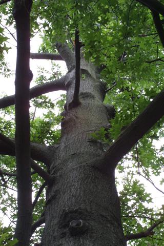 Image http://bioimages.vanderbilt.edu/lq/baskauf/wqupa2-wplookup-large12440.jpg