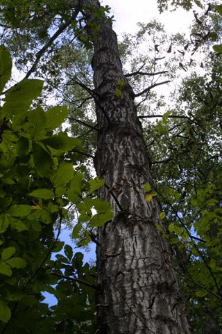 Image http://bioimages.vanderbilt.edu/lq/baskauf/wqupa2-wplookup15823.jpg