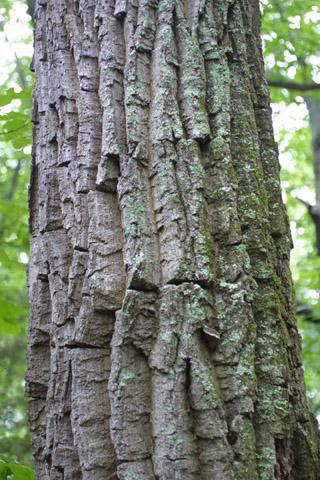 Image http://bioimages.vanderbilt.edu/lq/baskauf/wqupr2-brlarge13676.jpg