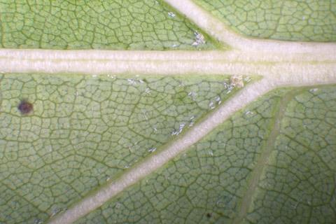 Image http://bioimages.vanderbilt.edu/lq/baskauf/wquru--lflower-micro13145.jpg