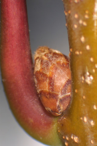Image http://bioimages.vanderbilt.edu/lq/baskauf/wquru--twbud-13155.jpg