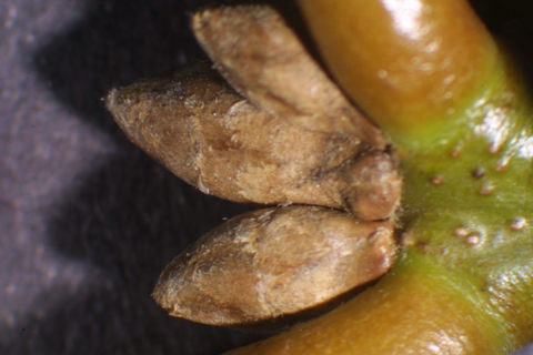 Image http://bioimages.vanderbilt.edu/lq/baskauf/wqush--twbuds-micro16261.jpg