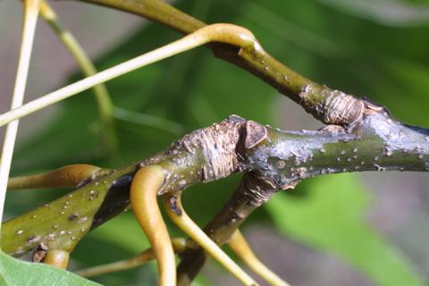 Image http://bioimages.vanderbilt.edu/gq/baskauf/gqush--twcolor16250.jpg