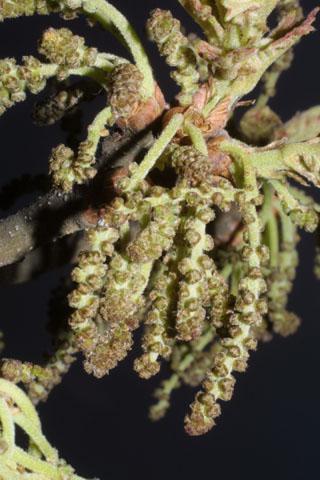 Image http://bioimages.vanderbilt.edu/lq/baskauf/wqust--fl32267.jpg