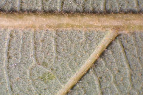 Image http://bioimages.vanderbilt.edu/lq/baskauf/wqust--lflower-micro13045.jpg