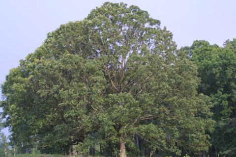 Image http://bioimages.vanderbilt.edu/lq/baskauf/wqust--wplarge13528.jpg