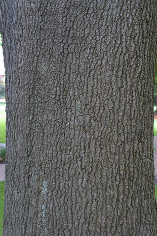 Image http://bioimages.vanderbilt.edu/lq/baskauf/wquve--brlarge-tree12429.jpg