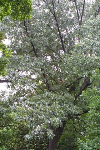 Image http://bioimages.vanderbilt.edu/lq/baskauf/wquve--wplarge12424.jpg