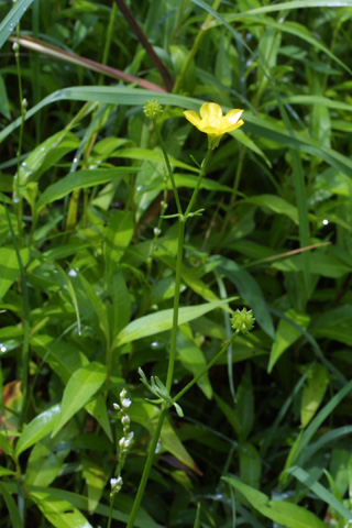 Image http://bioimages.vanderbilt.edu/lq/baskauf/wrabu--wp11874.jpg