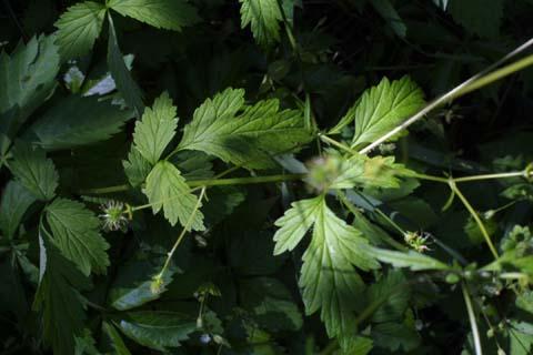Image http://bioimages.vanderbilt.edu/lq/baskauf/wrare2-wpdevel-fr22040.jpg