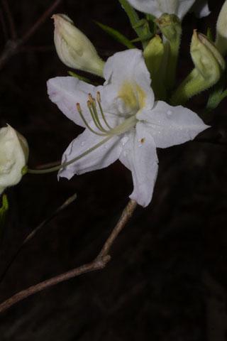 Image http://bioimages.vanderbilt.edu/lq/baskauf/wrhal5-flfront32492.jpg
