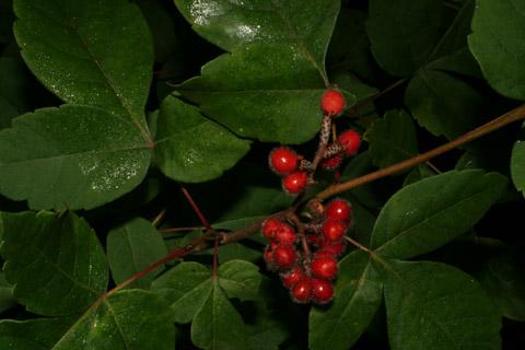 Image http://bioimages.vanderbilt.edu/lq/baskauf/wrhar4-fr52663.jpg