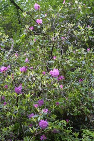 Image http://bioimages.vanderbilt.edu/lq/baskauf/wrhca8-wp26060.jpg