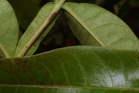Image http://bioimages.vanderbilt.edu/lq/baskauf/wrhcol2lfmargin-uplow30099.jpg