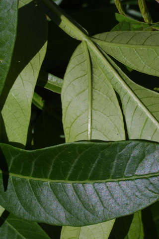 Image http://bioimages.vanderbilt.edu/lq/baskauf/wrhcol2lfupper-lower12583.jpg