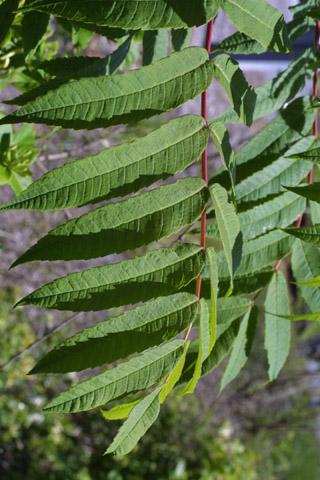 Image http://bioimages.vanderbilt.edu/lq/baskauf/wrhgl--lf10935.jpg