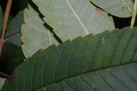 Image http://bioimages.vanderbilt.edu/lq/baskauf/wrhgl--lfmargin-uplow29771.jpg