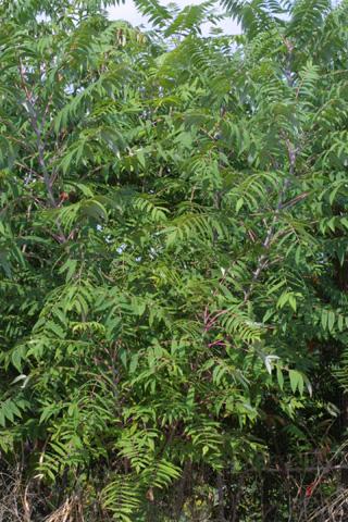 Image http://bioimages.vanderbilt.edu/gq/baskauf/grhgl--wp15477.jpg