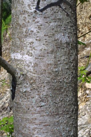 Image http://bioimages.vanderbilt.edu/lq/baskauf/wrhhi2-br19197.jpg