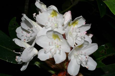 Image http://bioimages.vanderbilt.edu/lq/baskauf/wrhma4-flinflor49107.jpg