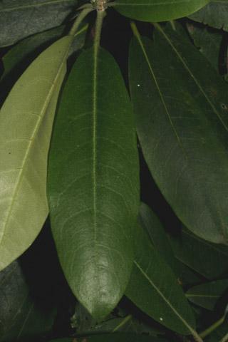 Image http://bioimages.vanderbilt.edu/lq/baskauf/wrhma4-lf49114.jpg