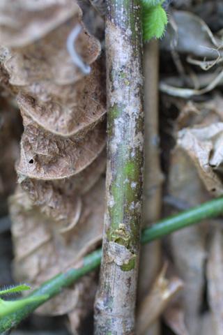 Image http://bioimages.vanderbilt.edu/lq/baskauf/wromu--br18617.jpg