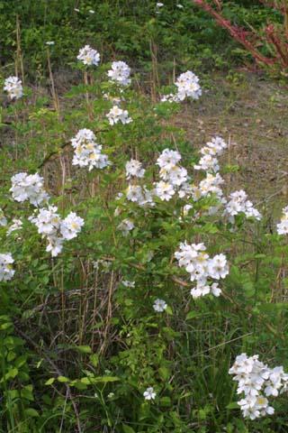 Image http://bioimages.vanderbilt.edu/lq/baskauf/wromu--wp23665.jpg