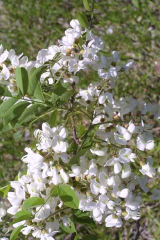 Image http://bioimages.vanderbilt.edu/lq/baskauf/wrops--flinflor21999.jpg