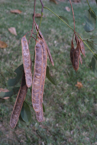 Image http://bioimages.vanderbilt.edu/lq/baskauf/wrops--fr15353.jpg