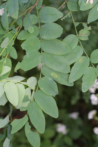 Image http://bioimages.vanderbilt.edu/lq/baskauf/wrops--lf29730.jpg