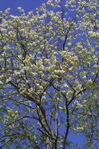 Image http://bioimages.vanderbilt.edu/lq/baskauf/wrops--wpin-flower21605.jpg