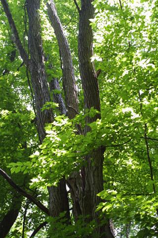 Image http://bioimages.vanderbilt.edu/lq/baskauf/wrops--wplarge-trunks11504.jpg