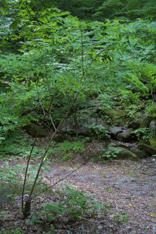 Image http://bioimages.vanderbilt.edu/lq/baskauf/wrops--wpsmall11509.jpg