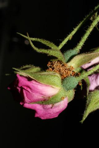 Image http://bioimages.vanderbilt.edu/lq/baskauf/wrose2-flback52499.jpg
