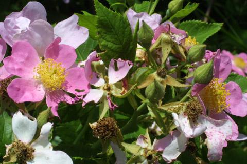 Image http://bioimages.vanderbilt.edu/lq/baskauf/wrose2-flfloral-devel13016.jpg