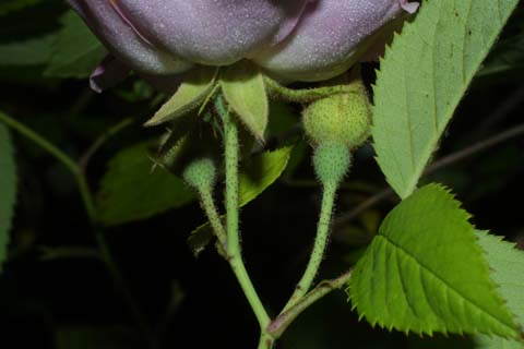 Image http://bioimages.vanderbilt.edu/lq/baskauf/wrose2-flhypanthium26689.jpg