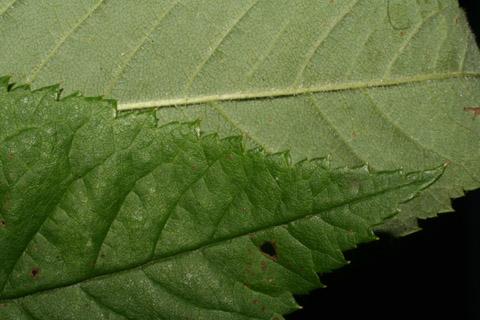 Image http://bioimages.vanderbilt.edu/lq/baskauf/wrose2-lfmargin-uplow52503.jpg