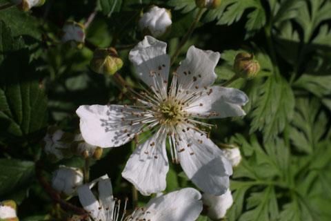 Image http://bioimages.vanderbilt.edu/lq/baskauf/wrubus-flcloseup10778.jpg