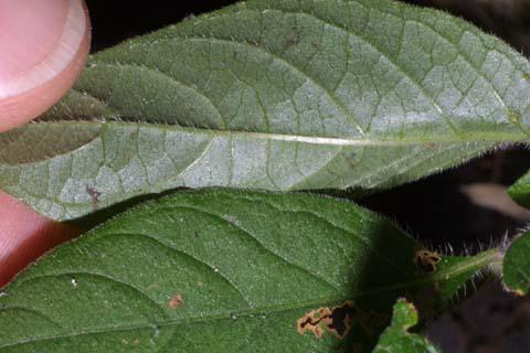 Image http://bioimages.vanderbilt.edu/lq/baskauf/wruca4-lfuplow27708.jpg