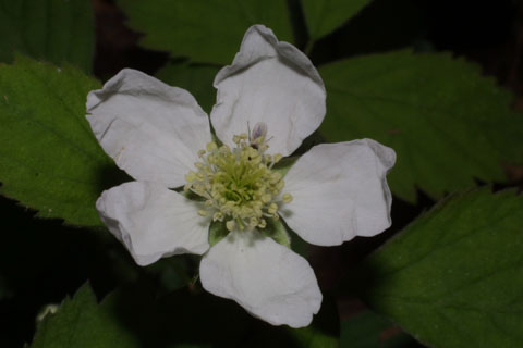 Image http://bioimages.vanderbilt.edu/lq/baskauf/wrufl--flfront33157.jpg