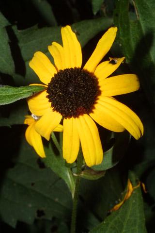 Image http://bioimages.vanderbilt.edu/gq/baskauf/grufu2-flfront37396.jpg