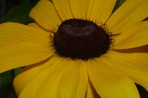 Image http://bioimages.vanderbilt.edu/lq/baskauf/wruhi2-flclose27277.jpg