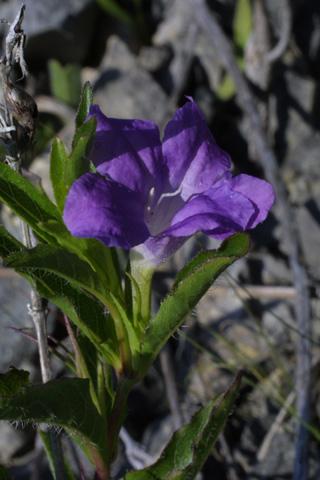 Image http://bioimages.vanderbilt.edu/lq/baskauf/wruhu--flside12709.jpg